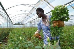 12045790-lusaka-zambia--02-de-diciembre-las-mujeres-africanas-en-los-invernaderos-recoger-rosas-para-la-expor